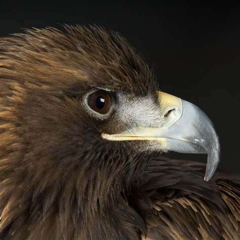 Golden Eagle | National Geographic