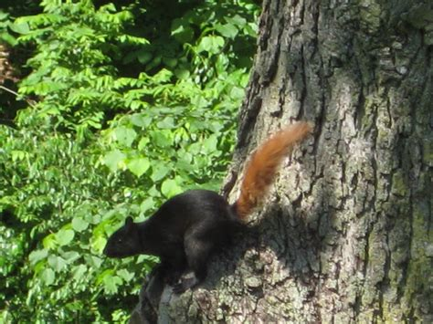 Black Squirrel, Brown Tail | The Ark In Space